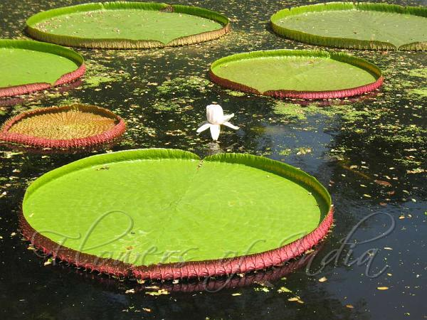 http://flowersofindia.net/catalog/slides/Giant%20Water%20Lily.jpg Giant Amazon Water Lily