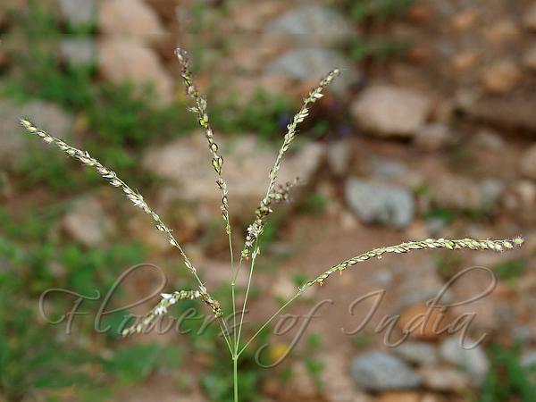 alloteropsis cimicina summer grass. Black Bedroom Furniture Sets. Home Design Ideas