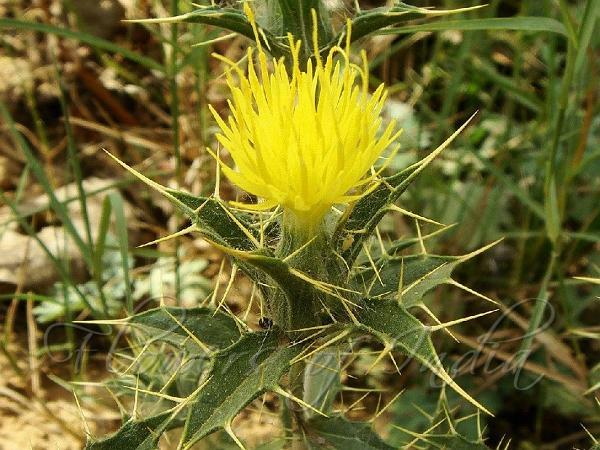 carthamus oxyacanthus